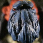 great crested knarloc03